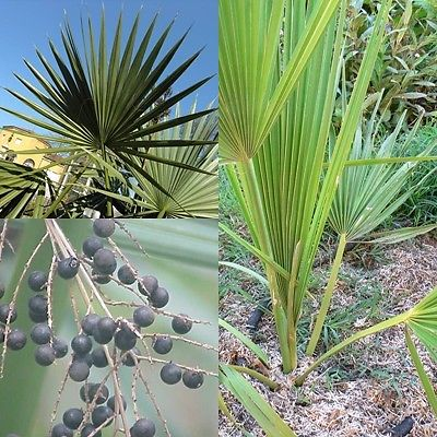 SABAL PALMETTO Sabal jamesiana Sabal parviflora Cabbage palm Palma <b>10 semi</b>