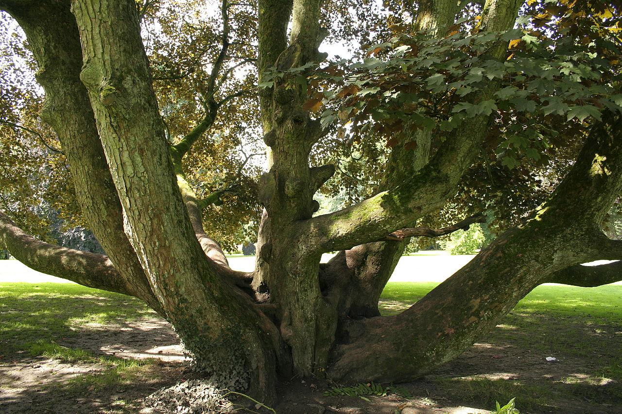 giardino ornamentale Acero di monte 2 a bonsai pianta Acer pseudoplatanus