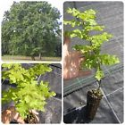 QUERCUS CERRIS CerroTurkey oak tree - <b> alveolo forestale</b>- altezza  30-40 cm