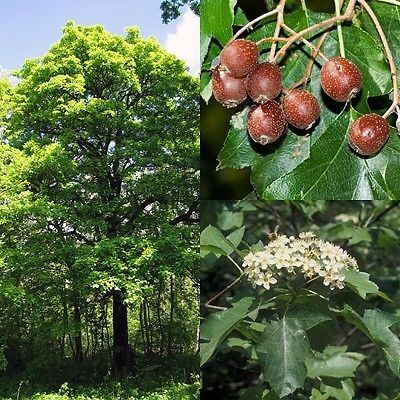 SORBUS TORMINALIS Albero o Checker Tree or Checker <b> V/q S/p 9x9x20</b> altezza 50-70