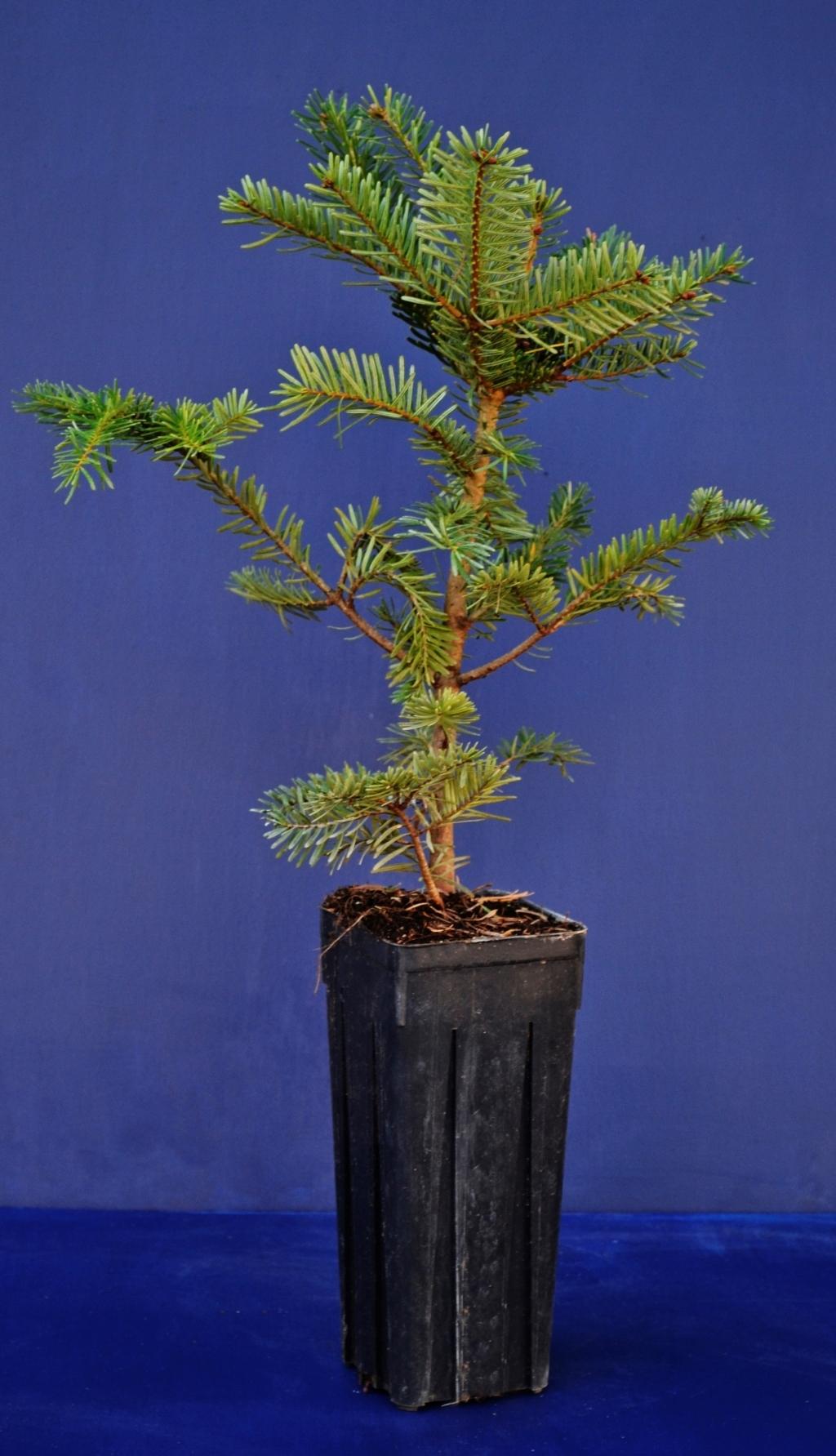 ABIES ALBA Vq 9x9x20 cm 1 Pianta 1 Plant Abete bianco