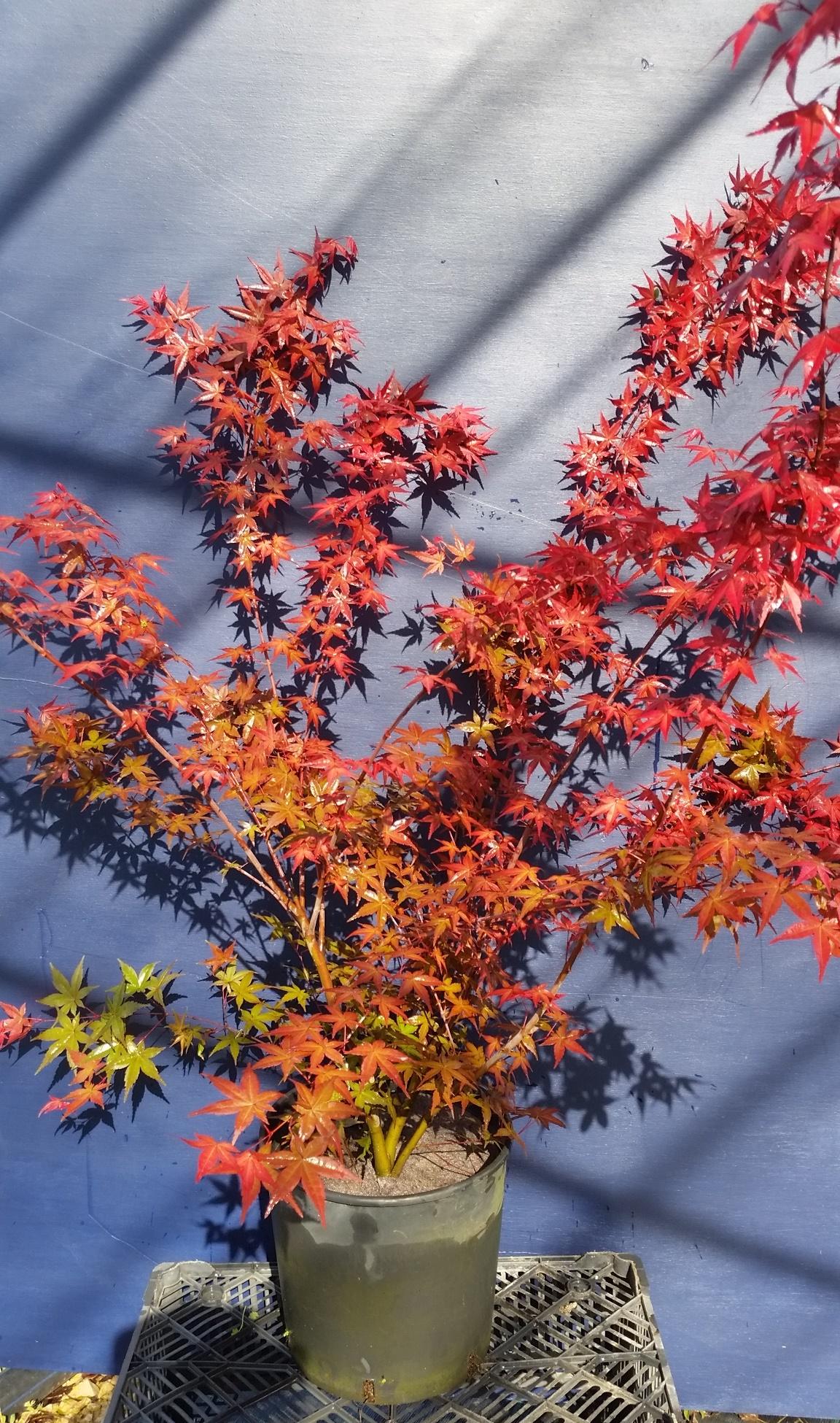Acero Giapponese Verde vivai mola della badia