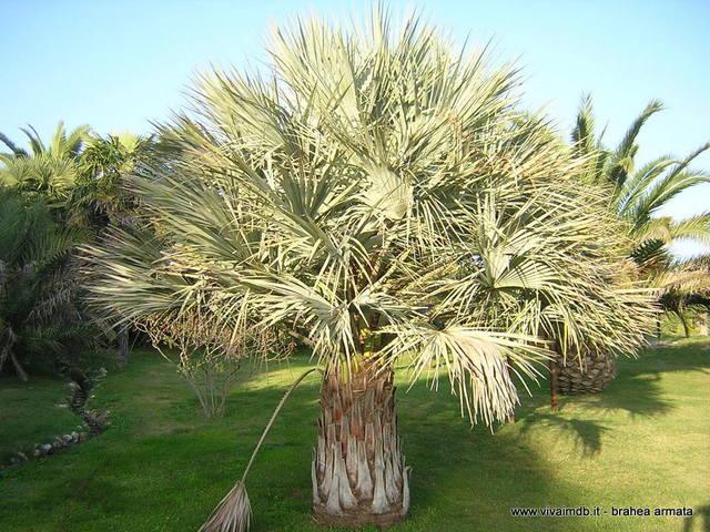 Vivai mola della badia for Pianta palma