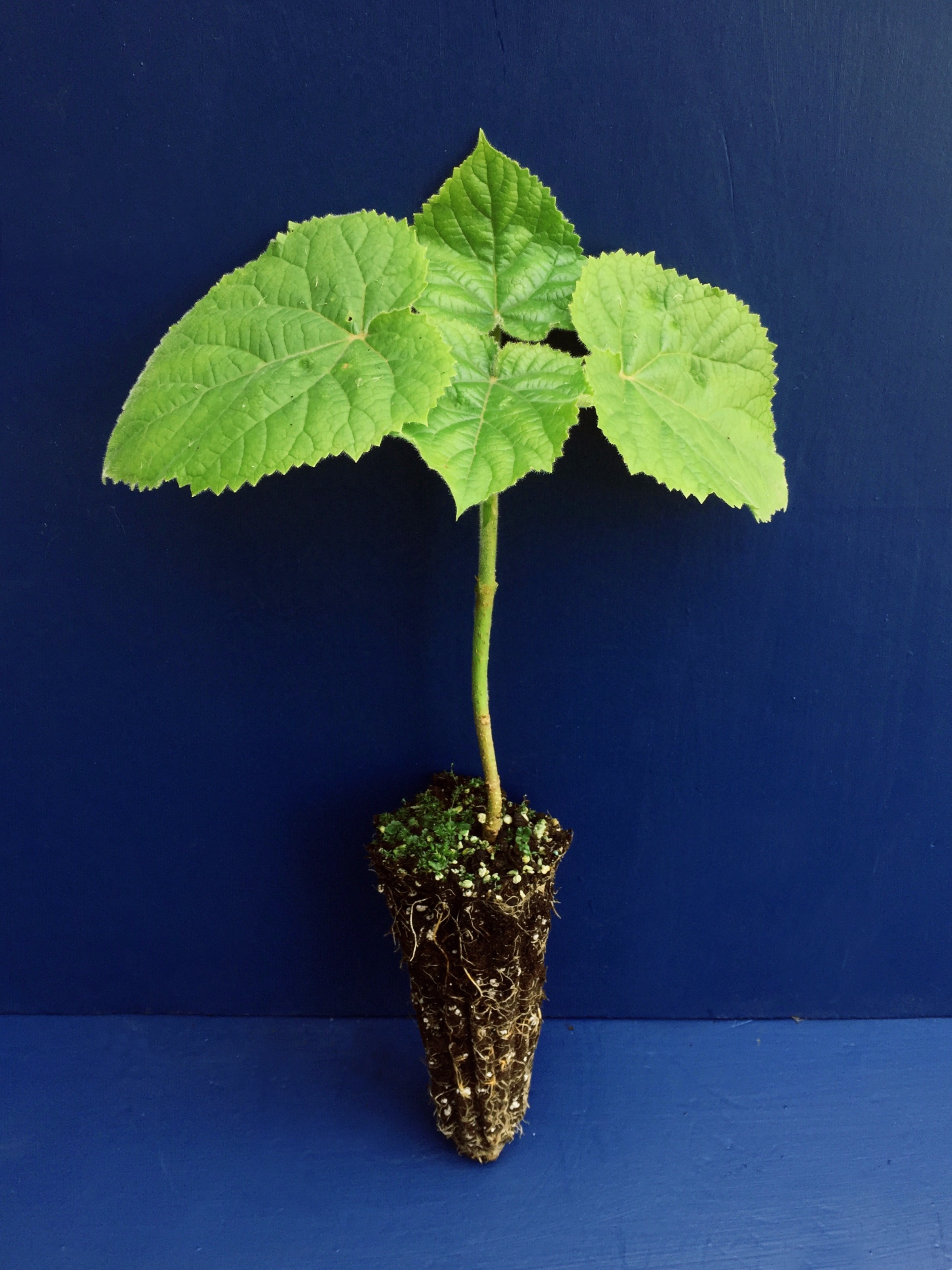 PAULOWNIA TOMENTOSA Paulonia Empress Tree Princess Tree -<b>offerta 400 alveoli forestali </b> -altezza 5-10 cm
