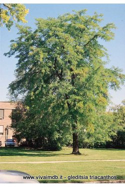 GLEDITSIA TRIACANTHOS albero spino Honey Thorny locust <b>10 semi </b>