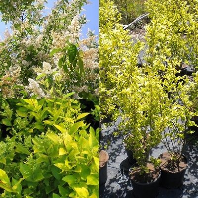 LIGUSTRUM OVALIFOLIUM AUREUM Ligustro Oval Leaved Privet Golden Privet <b> vaso 18 </b> altezza 60-100 cm