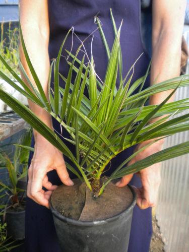 PHOENIX RECLINATA Palma Del Senegal Wild Date Palm U003cbu003evaso Quadro 18 U003c/
