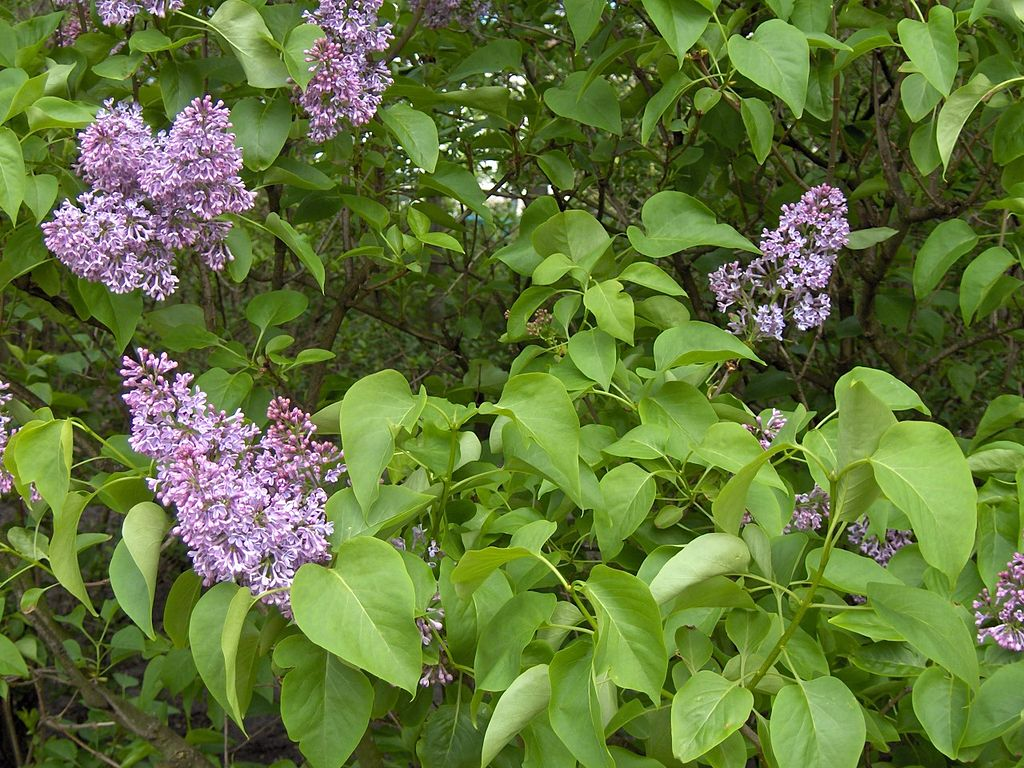 SYRINGA VULGARIS Lillà Common Lilla SmallTree lilac flowers pianta plant <b> alveolo </b> altezza 20-30 cm