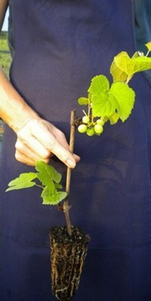 VITIS LABRUSCA Uva fragola Albany Surprise Raisin fraise <b> alveolo forestale </b> altezza 30-40 cm