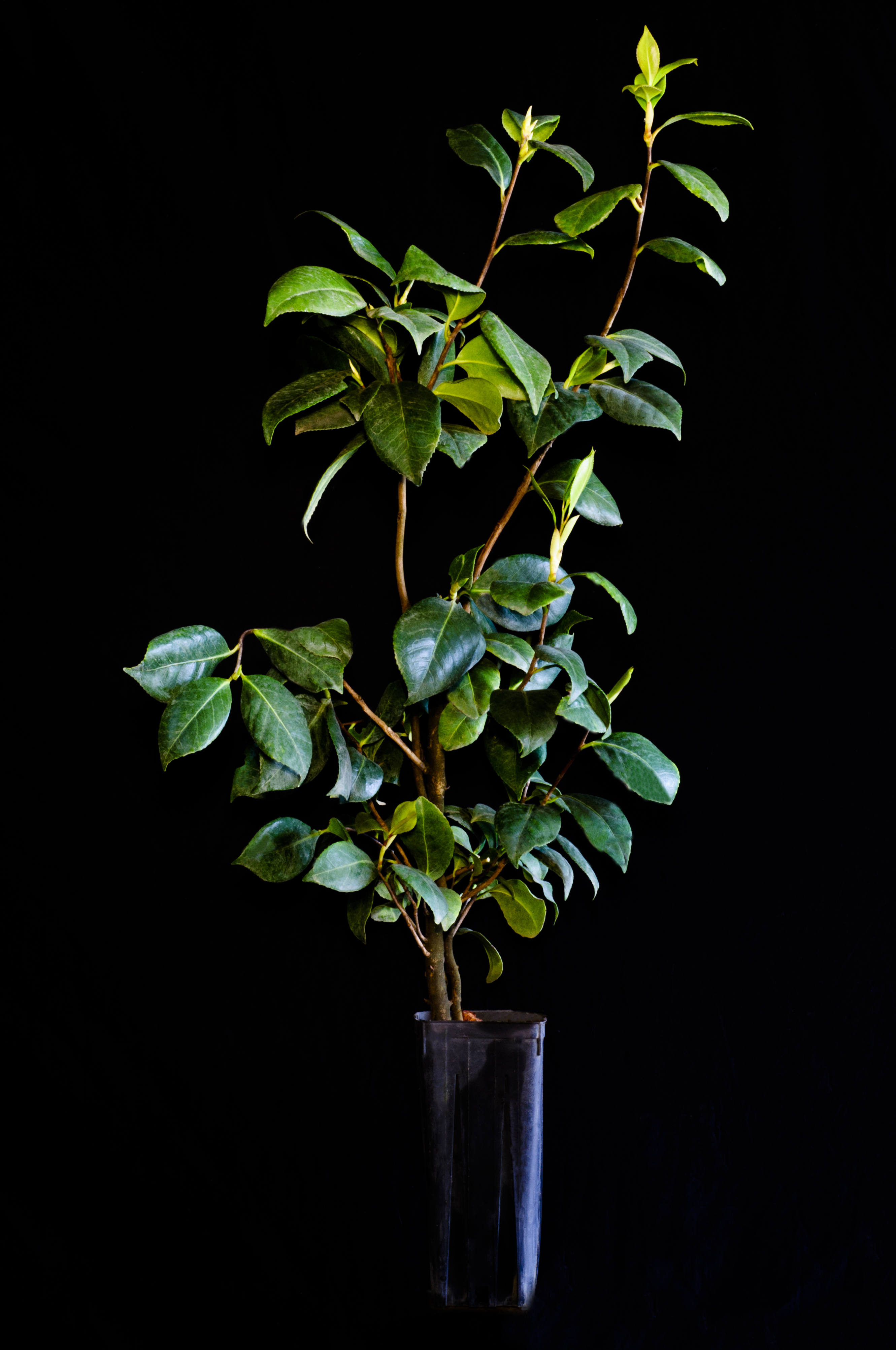 CAMELLIA JAPONICA Camelia Camellias tree pianta plants bella e rustica!! <B> vaso quadro</b> altezza50-60 cm