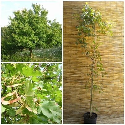 ACER CAMPESTRE Acero Field Maple plant pianta o Prebonsai <b>vaso 24x24x24</b> altezza 160-190 cm