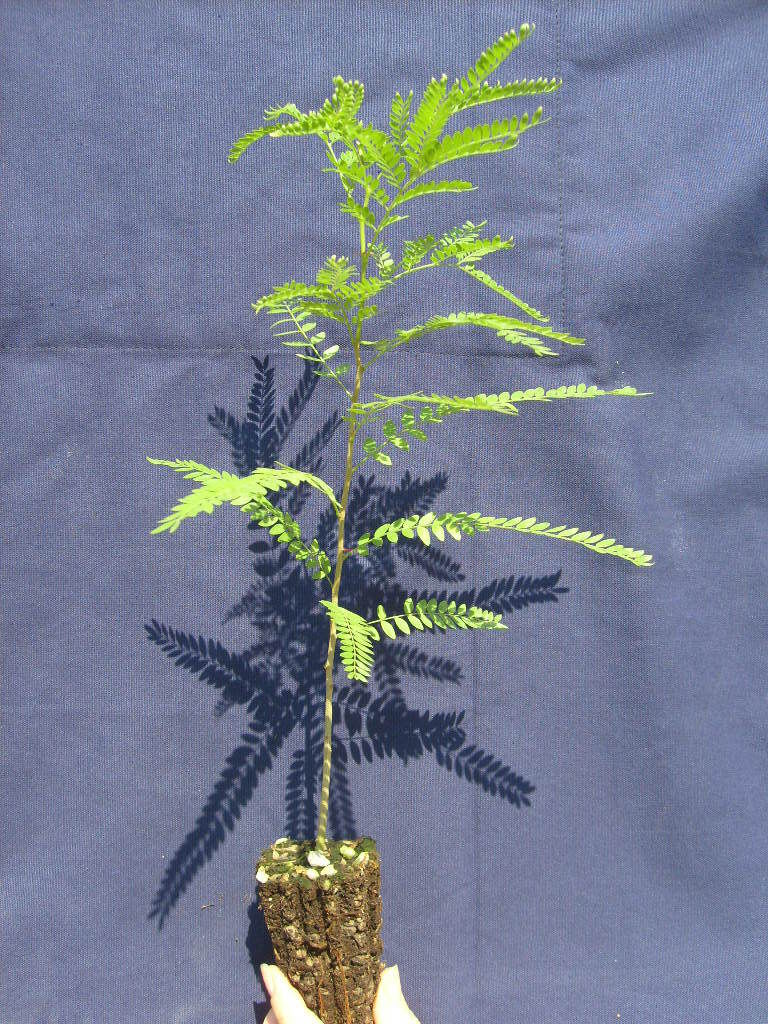 GLEDITSIA TRIACANTHOS albero spino Honey Thorny locust <b>alveolo forestale </b> altexxa 20-40 cm