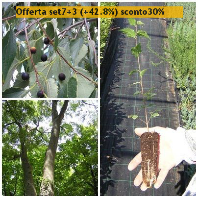 CELTIS AUSTRALIS Bagolaro nettle tree Bonsai Prebonsai <b><span class=promo>Offerta 7+3 alveoli forestali (+42.8%) sconto 30%</span></b> altezza 15-30 Cm