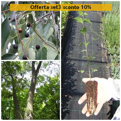 CELTIS AUSTRALIS Bagolaro nettle tree Bonsai Prebonsai <b><span class=promo>Offerta set 3 alveoli forestali sconto 10%</span></b> altezza 15-30 Cm