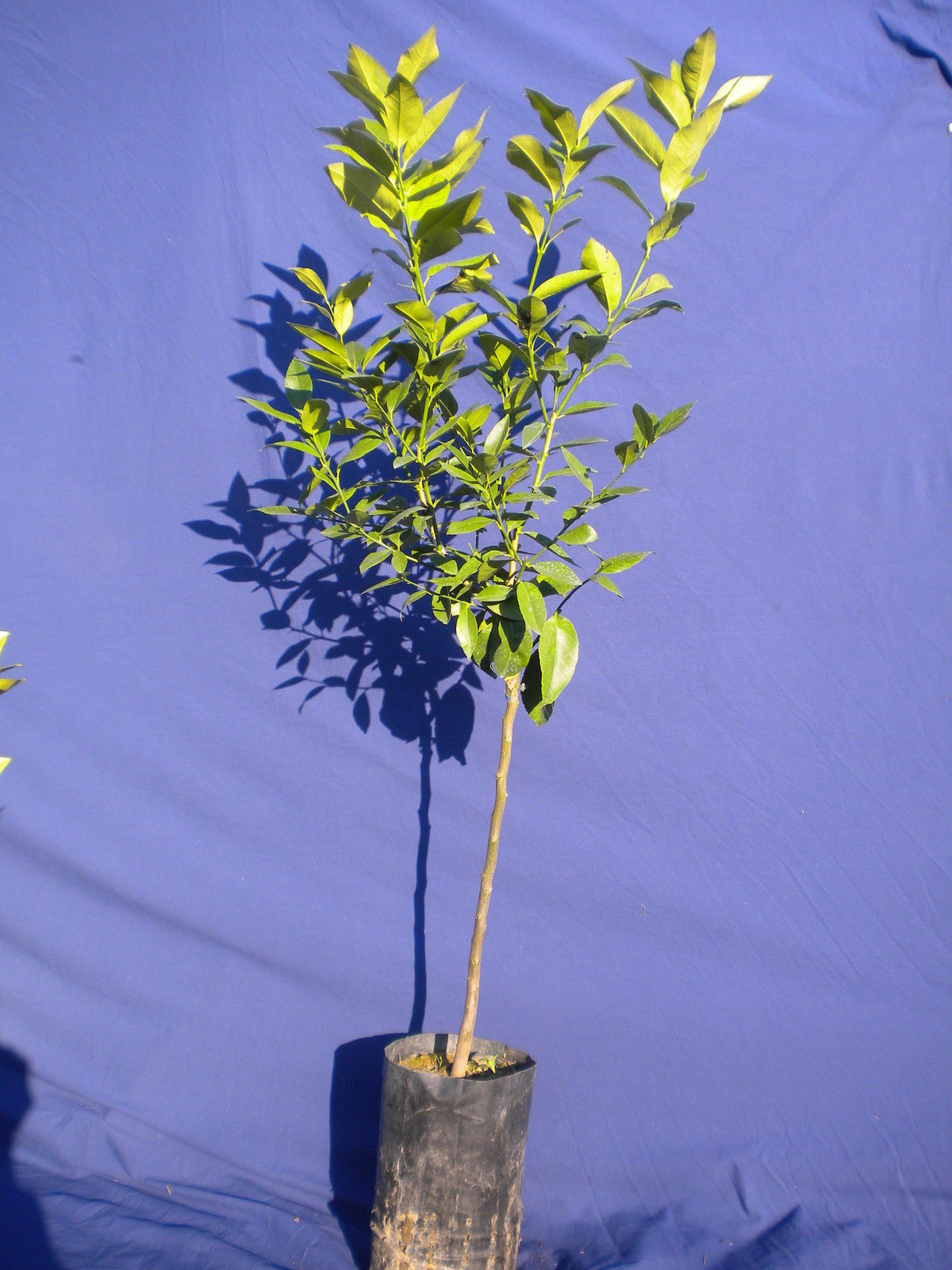 CITRUS LIMON var. limone arancio Orange lemon pianta plant<b> fitocella  </b>altezza 100-120 cm