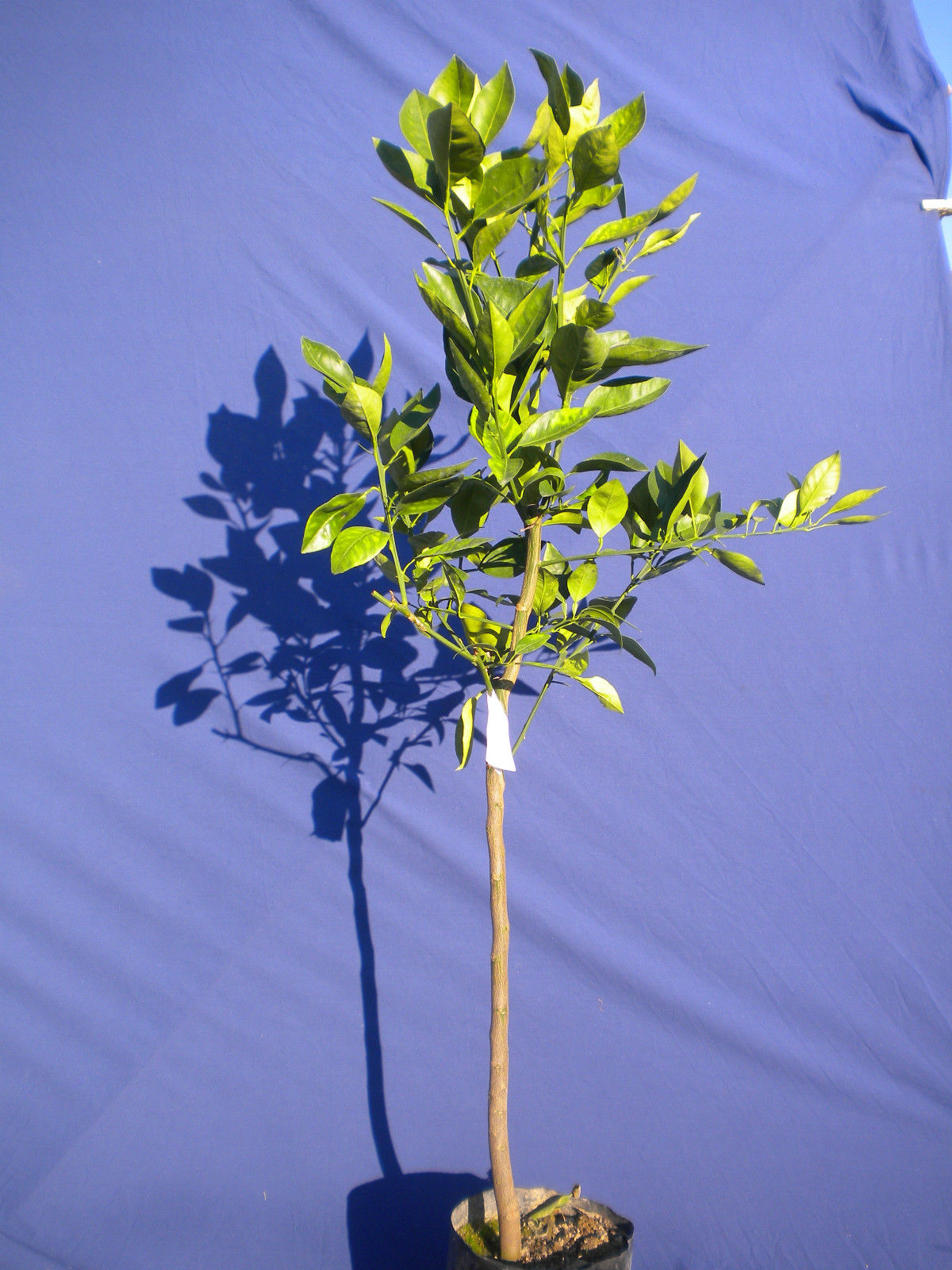 CITRUS SINENSIS Arancio orange var. VALENCIA pianta in <b> fitocella</b> altezza 100-130 cm