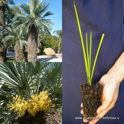 TRITHRINAX ACANTHOCOMA Spettacolare palma Spectacular palm <b> alveolo forestale </b> altezza 15-20cm