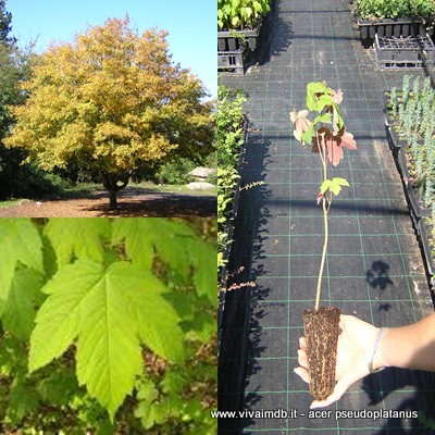 ACER PSEUDOPLATANUS Acero monte Bonsai Prebonsai MAPLE- <b>alveolo forestale</b> - altezza 20-30 Cm