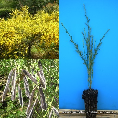 CYTISUS SCOPARIUS Ginestra dei carbonai Common Scotch Broom -<b> alveolo forestale</b> - altezza 15-20cm