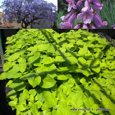 PAULOWNIA TOMENTOSA Paulonia Empress Tree Princess Tree -<b>set 40 piante alveolo forestale </b> -altezza 5-10 cm