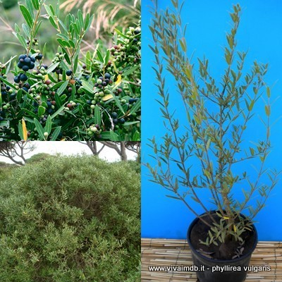 PHILLYREA ANGUSTIFOLIA Fillirea falso ulivo false olive -<b>Vaso 18</b>-altezza 50-90 Cm