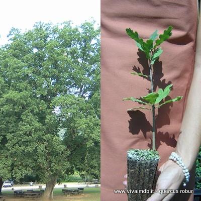 QUERCUS ILEX Leccio OFFERTA 40 piante x siepi da legna