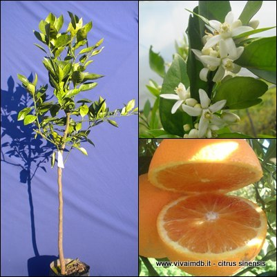 CITRUS SINENSIS Arancio orange v. TAROCCO pianta plant frutti eduli edible fruit <b>fitocella </b> altezza 100/130 cm.