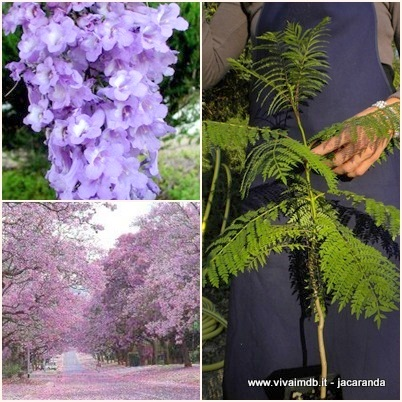 JACARANDA MIMOSIFOLIA Falso Palissandro Brazilian rose Offerta 40 piante alveolo