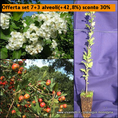 CRATAEGUS MONOGYNA Biancospino Bonsai Prebonsai Common Hawthor <b><span class=promo>Offerta set 7+3(+42.8%) sconto 30%</span><b> altezza 20-40 Cm