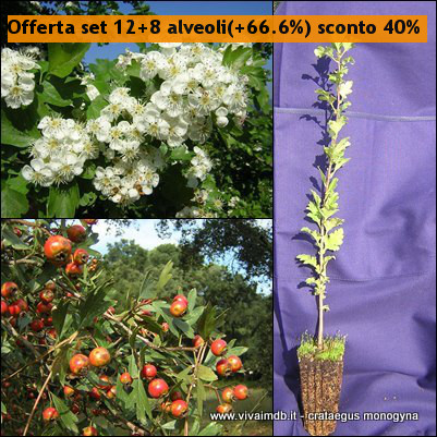 CRATAEGUS MONOGYNA Biancospino Bonsai Prebonsai Common Hawthor <b><span class=promo>Offerta set 12+8(+66,6%) sconto 40%</span><b> altezza 20-40 Cm