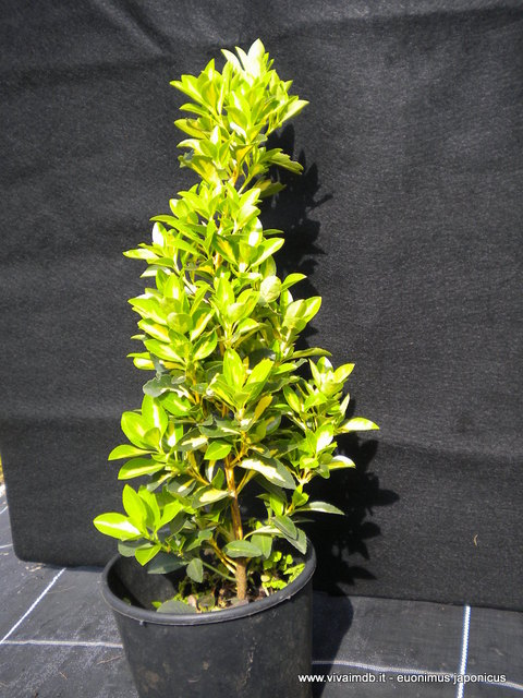 EUONYMUS JAPONICUS Evonimo Giapponese varigato Spindle<b> Vaso 18 </b> altezza 30-50 cm