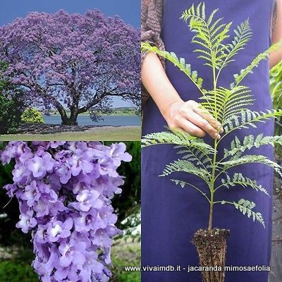 JACARANDA MIMOSIFOLIA Falso Palissandro Brazilian rose wood, green ebony <b>alveolo forestale </b>altezza 15-30 cm