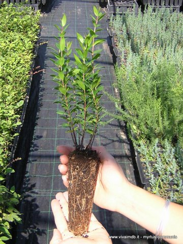 MYRTUS COMMUNIS mirto mortella myrtle -<b>  alveolo forestale </b> -altezza 15-30 cm-