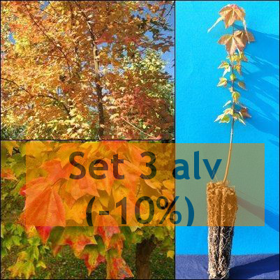 ACER BUERGERIANUM ACERO TRIDENTE Trident Maple <b><span class=promo>set 3 alveoli forestali (-10%) </b> altezza 20-30 cm.