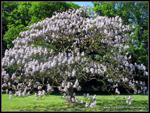 PAULOWNIA TOMENTOSA Paulonia Empress Tree Princess Tree -<b>400 semi </b>
