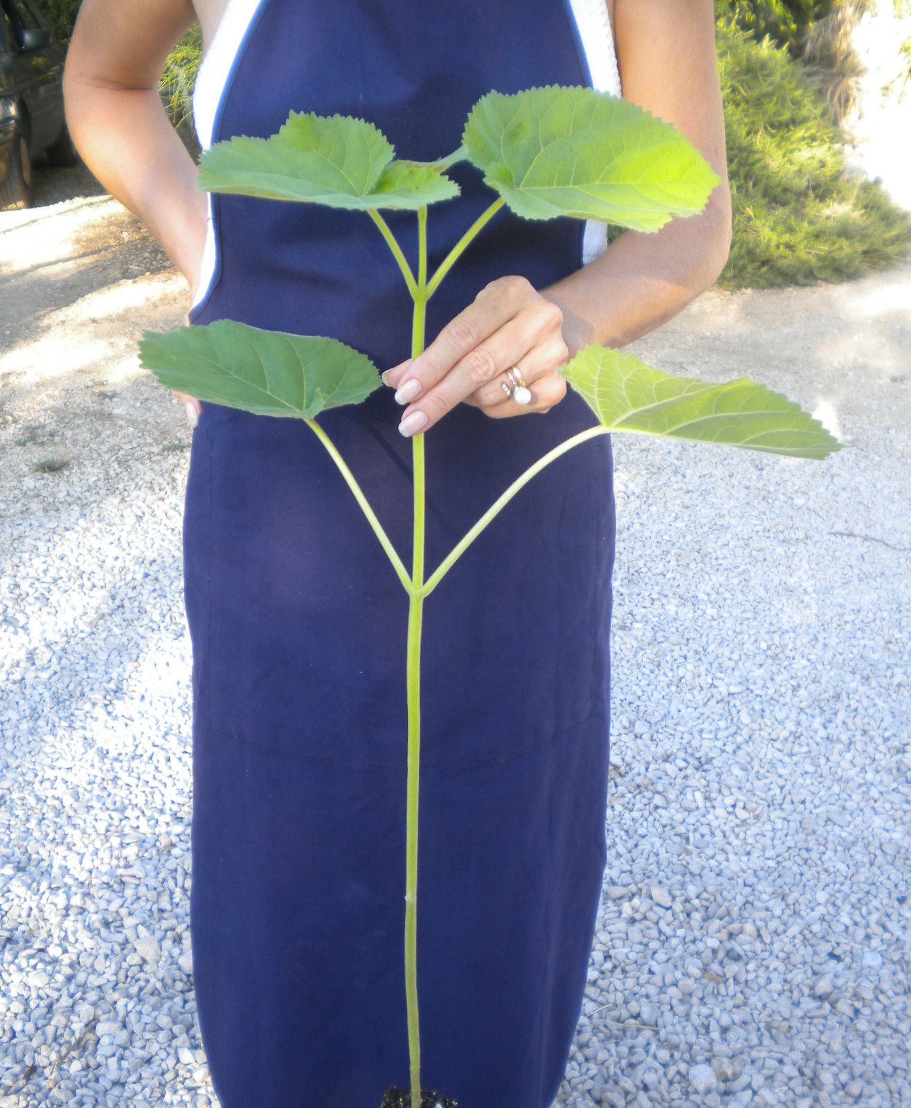 PAULOWNIA TOMENTOSA Paulonia Empress Tree Princess Tree -<b>Vaso 18</b> -altezza 10-20 cm