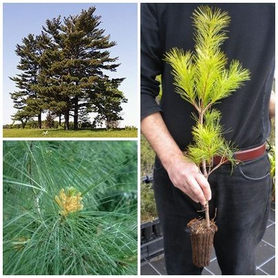 PINUS STROBUS Pino bianco orientale nordico eastern white northern soft Pine <b>vaso quadro</b>altezza 90-100 Cm