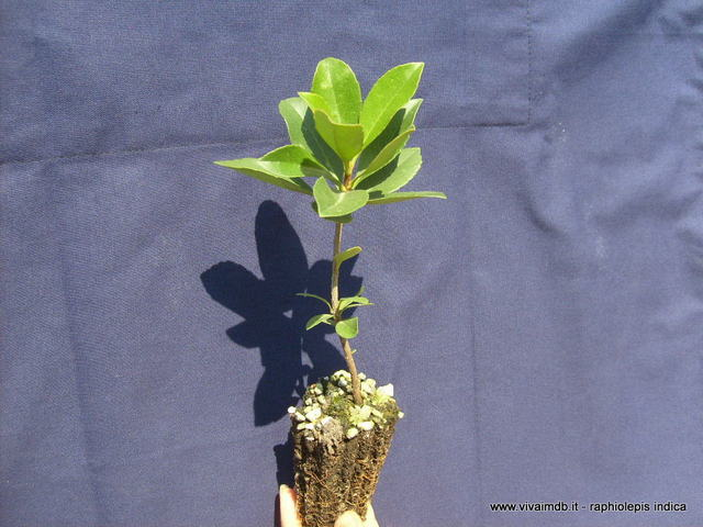 RAPHIOLEPIS INDICA biancospino dell'india Indian Hawthor rafiolepis prebonsai <b>alveolo forestale  </b>altezza 15-20 cm
