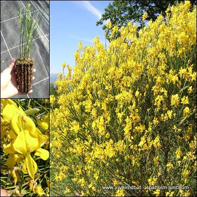 SPARTIUM JUNCEUM Ginestra Spanish broom Prebonsai pianta plant <b>alveolo forestale </b> altezza 30-60 cm