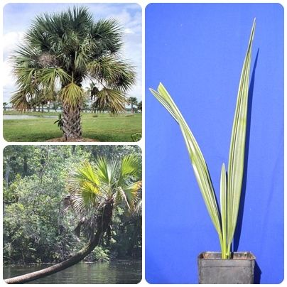 SABAL PALMETTO Sabal jamesiana Sabal parviflora Cabbage palm Palma <b>vaso quadro 9x9x20</b> altezza 30-40 cm
