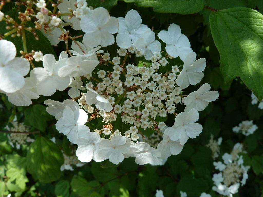 Viburnum davidii Sempre NANO VERDE PALLA DI NEVE 15-20cm